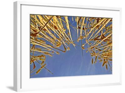 Wheat Field Ripe Ears of Wheat Against Blue Sky--Framed Photographic Print
