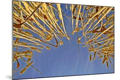 Wheat Field Ripe Ears of Wheat Against Blue Sky--Mounted Photographic Print