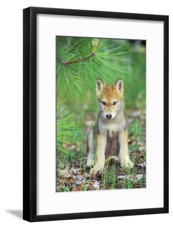 Timber Wolf Pup Sitting Down--Framed Photographic Print