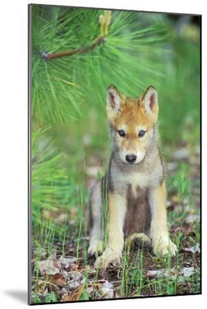 Timber Wolf Pup Sitting Down--Mounted Photographic Print