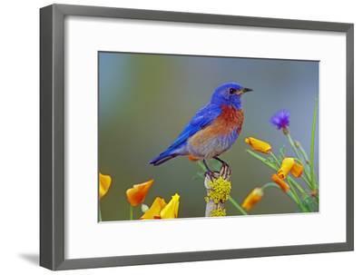 Western Bluebird Male--Framed Photographic Print