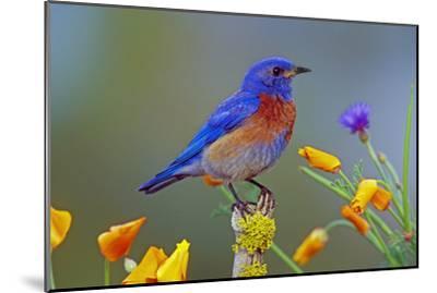 Western Bluebird Male--Mounted Photographic Print