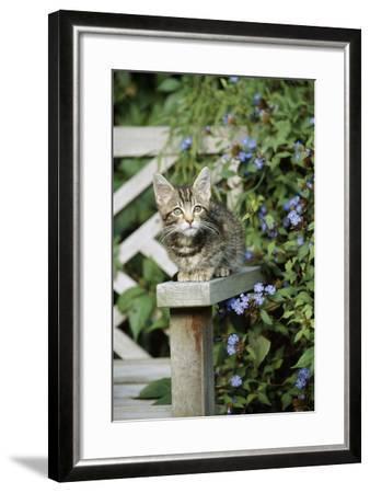 Tabby Kitten--Framed Photographic Print