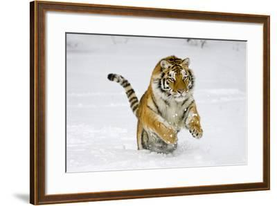 Amur Tiger in Winter Snow--Framed Photographic Print