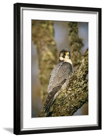 Peregrine Falcon--Framed Photographic Print