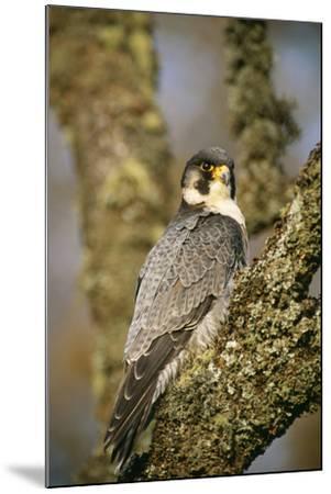 Peregrine Falcon--Mounted Photographic Print