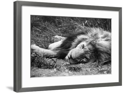 Sleeping Lion--Framed Photographic Print