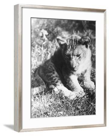 Leopard at the Zoo--Framed Photographic Print