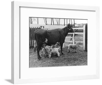 Cow Suckling Lambs--Framed Photographic Print