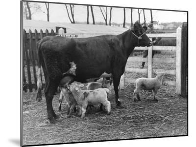 Cow Suckling Lambs--Mounted Photographic Print