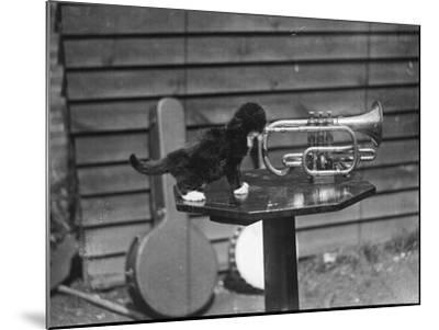 Kitten Trumpeter--Mounted Photographic Print