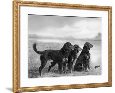 Jack Judy and Jill of Cromux Three Gordon Setters in a Field Owned by Eden-Thomas Fall-Framed Photographic Print