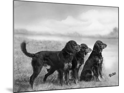 Jack Judy and Jill of Cromux Three Gordon Setters in a Field Owned by Eden-Thomas Fall-Mounted Photographic Print
