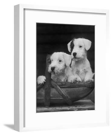 Two Unnamed Sealyhams Sitting in a Trug-Thomas Fall-Framed Photographic Print