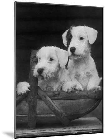 Two Unnamed Sealyhams Sitting in a Trug-Thomas Fall-Mounted Photographic Print