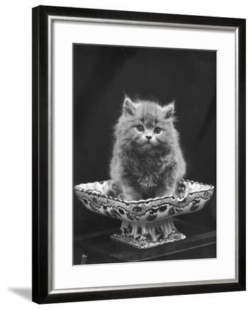 This Cute Little Blue Persian Kitten Sits Innocently in a Large China Dish  Photographic Print by Thomas Fall | Art com