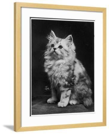An Adorable Fluffy Kitten Looks up at Its Owner--Framed Photographic Print