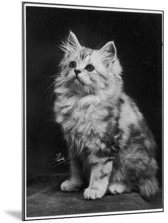 An Adorable Fluffy Kitten Looks up at Its Owner--Mounted Photographic Print