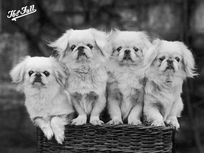 """Group of Four """"White"""" Pekingese Puppies in a Basket Owned by Stewart--Photographic Print"""