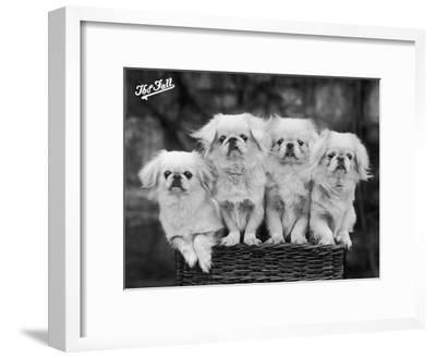 "Group of Four ""White"" Pekingese Puppies in a Basket Owned by Stewart--Framed Photographic Print"