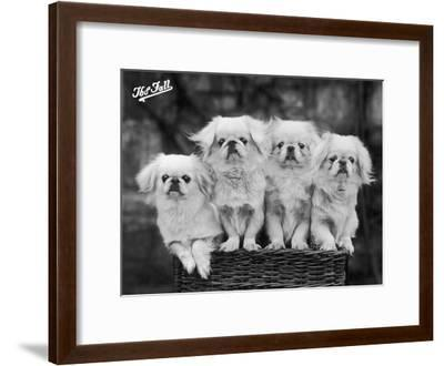 """Group of Four """"White"""" Pekingese Puppies in a Basket Owned by Stewart--Framed Photographic Print"""
