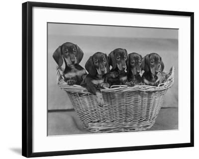 Basket of Puppies-Thomas Fall-Framed Photographic Print