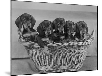 Basket of Puppies-Thomas Fall-Mounted Photographic Print