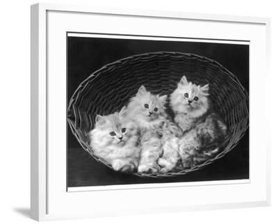 These Three Adorable Chinchilla Kittens Sit Together in an Up- Turned Basket--Framed Photographic Print