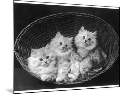 These Three Adorable Chinchilla Kittens Sit Together in an Up- Turned Basket--Mounted Photographic Print