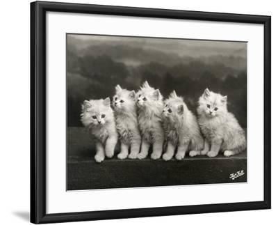 Row of Five Adorable White Fluffy Chinchilla Kittens-Thomas Fall-Framed Photographic Print