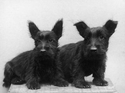 Two Timid Looking Black Scottie Puppies-Thomas Fall-Framed Photographic Print