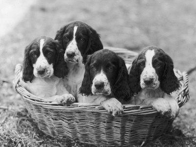 Four Large Puppies Crowded in a Basket. Owner: Browne-Thomas Fall-Framed Photographic Print