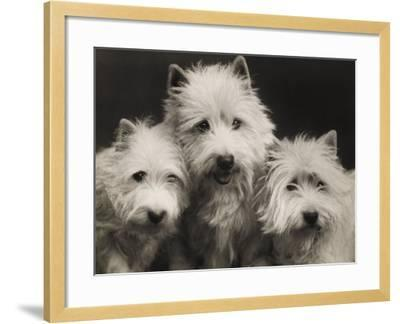 Three Westie Heads All Owned by Miss De Berry--Framed Photographic Print