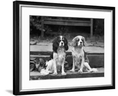 Camilla of Hillbarn Dickon of Littlebreach Sitting Together. Owner: Percival-Thomas Fall-Framed Photographic Print