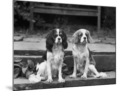 Camilla of Hillbarn Dickon of Littlebreach Sitting Together. Owner: Percival-Thomas Fall-Mounted Photographic Print