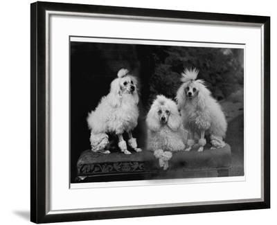 Mini Poodle Trio--Framed Photographic Print