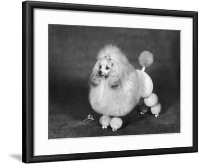 Crufts, 1966, Poodle--Framed Photographic Print