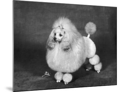 Crufts, 1966, Poodle--Mounted Photographic Print