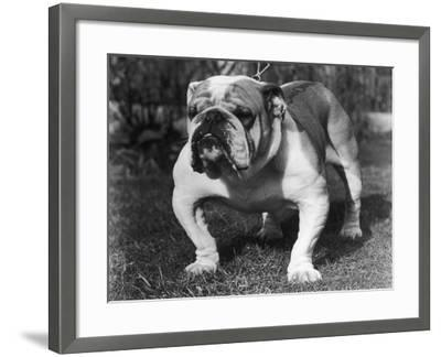 A Sturdy Bulldog on a Chain Lead--Framed Photographic Print