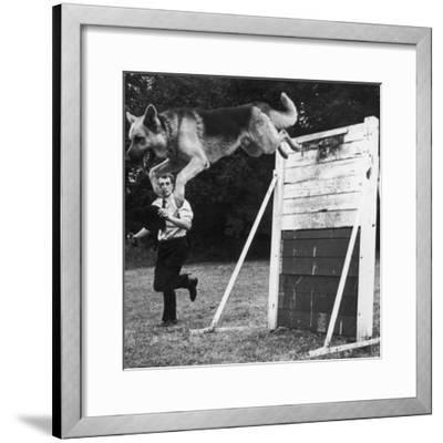 A German Shepherd Police Dog Jumping a Hurdle During a Training Session--Framed Photographic Print