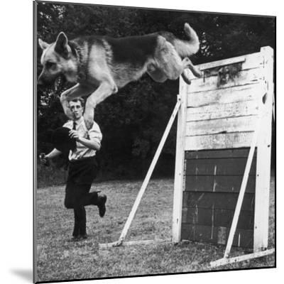 A German Shepherd Police Dog Jumping a Hurdle During a Training Session--Mounted Photographic Print