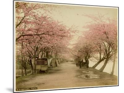 Japanese Cherry Blossom in Mukojima Tokyo Japan--Mounted Photographic Print