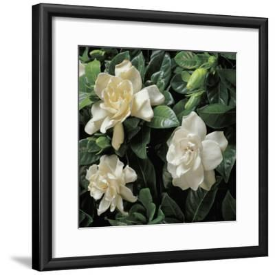 Close-Up of Cape Jasmine Flowers (Gardenia Jasminoides)-G^ Cigolini-Framed Photographic Print