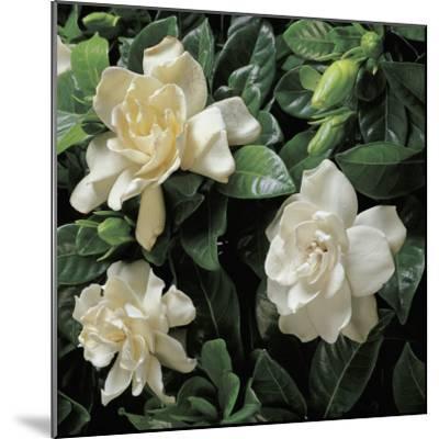 Close-Up of Cape Jasmine Flowers (Gardenia Jasminoides)-G^ Cigolini-Mounted Photographic Print