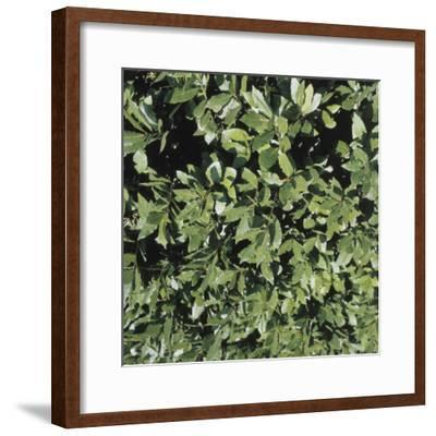 Close-Up of a Bay Laurel Tree (Laurus Nobilis)--Framed Photographic Print
