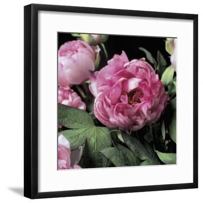 Close-Up of Common Peony Flowers (Paeonia Officinalis)-G^ Cigolini-Framed Photographic Print