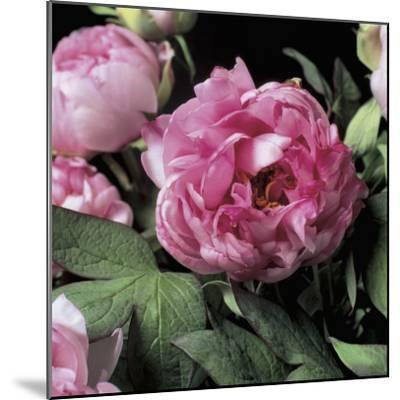 Close-Up of Common Peony Flowers (Paeonia Officinalis)-G^ Cigolini-Mounted Photographic Print