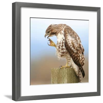Red-Tailed Hawk-Rebecca Richardson-Framed Photographic Print