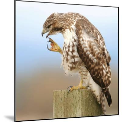 Red-Tailed Hawk-Rebecca Richardson-Mounted Photographic Print