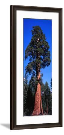 Giant Sequoia Stands Tall-Jeff Foott-Framed Photographic Print